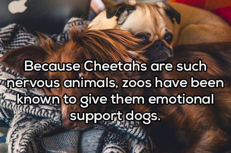 Dog - Because Cheetahs are such nervous animals, zoos have been ha own to give them emotional support dogs.