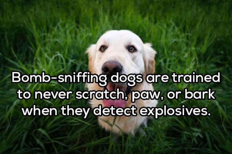 Dog - Bomb-sniffing dogs are trained to never scratch, paw, or bark when they detect explosives.