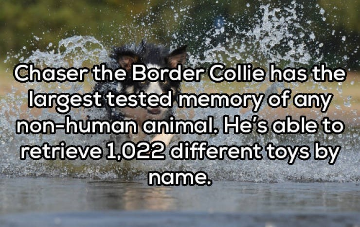 Water - Chaser the Border Collie has the largest tested memory of any non-human animal. He's able to retrieve 1,022 different toys by name.