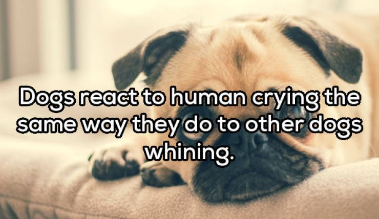 Dog breed - Dogs react to human crying the same way they do to other dogs whining.