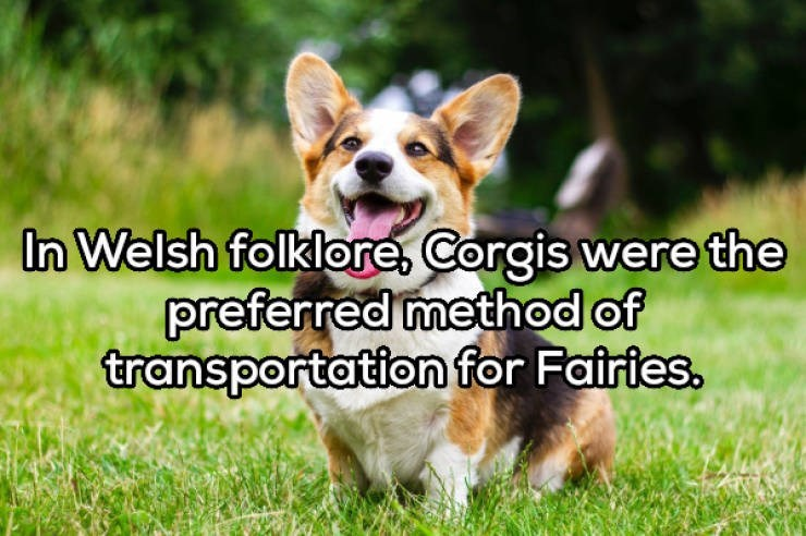 Dog - In Welsh folklore, Corgis were the preferred method of transportation for Fairies.