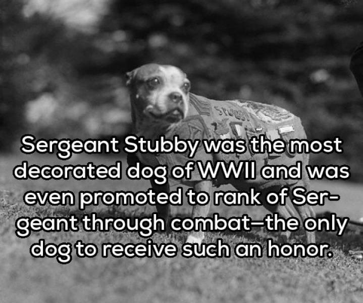 Dog - Sergeant Stubby was the most decorated dog of WWII and was even promoted to rank of Ser- geant through combat-the only dog to receive such an honor.