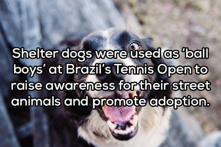 Facial expression - Shelter dogs were used as ball boys' at Brazil's Tennis Open to raise awareness for their street animals and promote adoption.