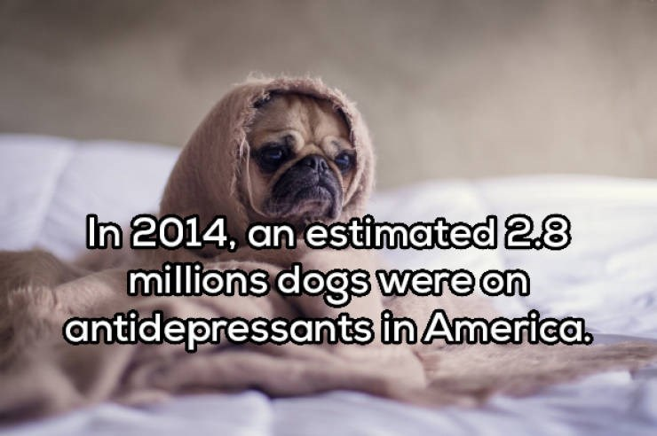 Dog - In 2014, an estimated 2.8 millions dogs were on antidepressants in America.
