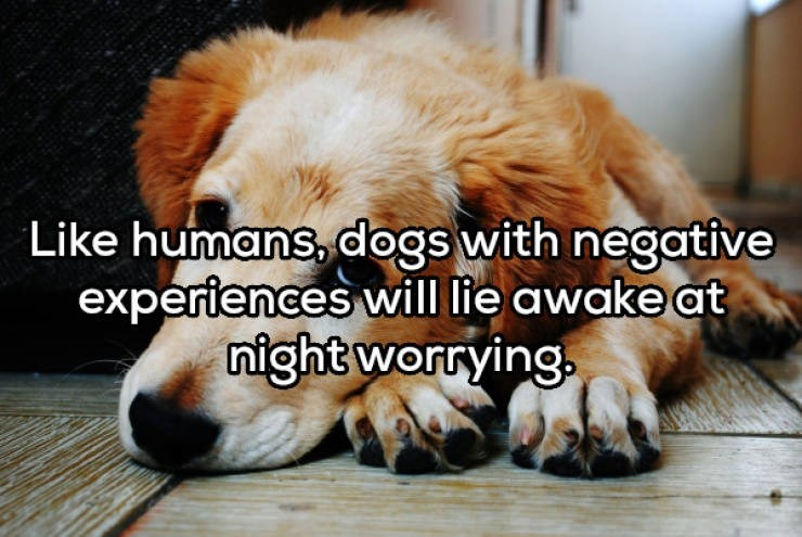 Dog breed - Like humans, dogs with negative experiences will lie awake at night worrying.