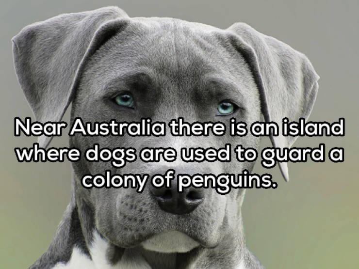 Dog - Near Australia there is an island where dogs are used to guarda colony of penguins.
