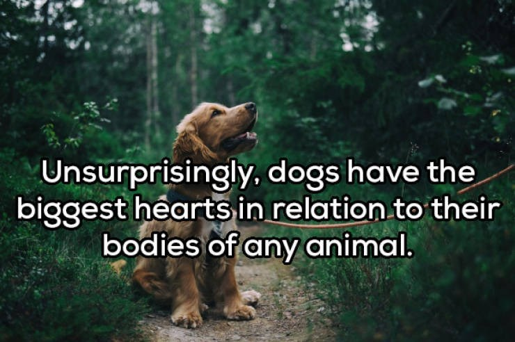 Nature - Unsurprisingly., dogs have the biggest hearts in relation to their bodies of any animal.