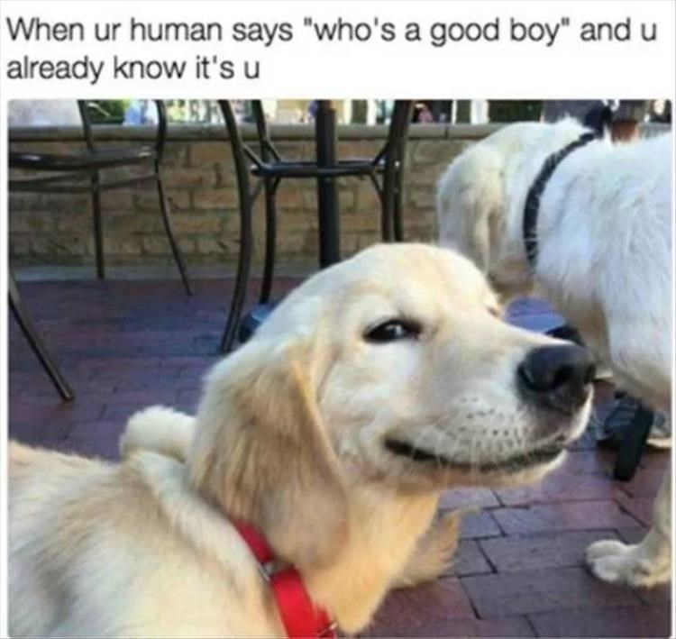 "Dog - When ur human says ""who's a good boy"" and already know it's u"