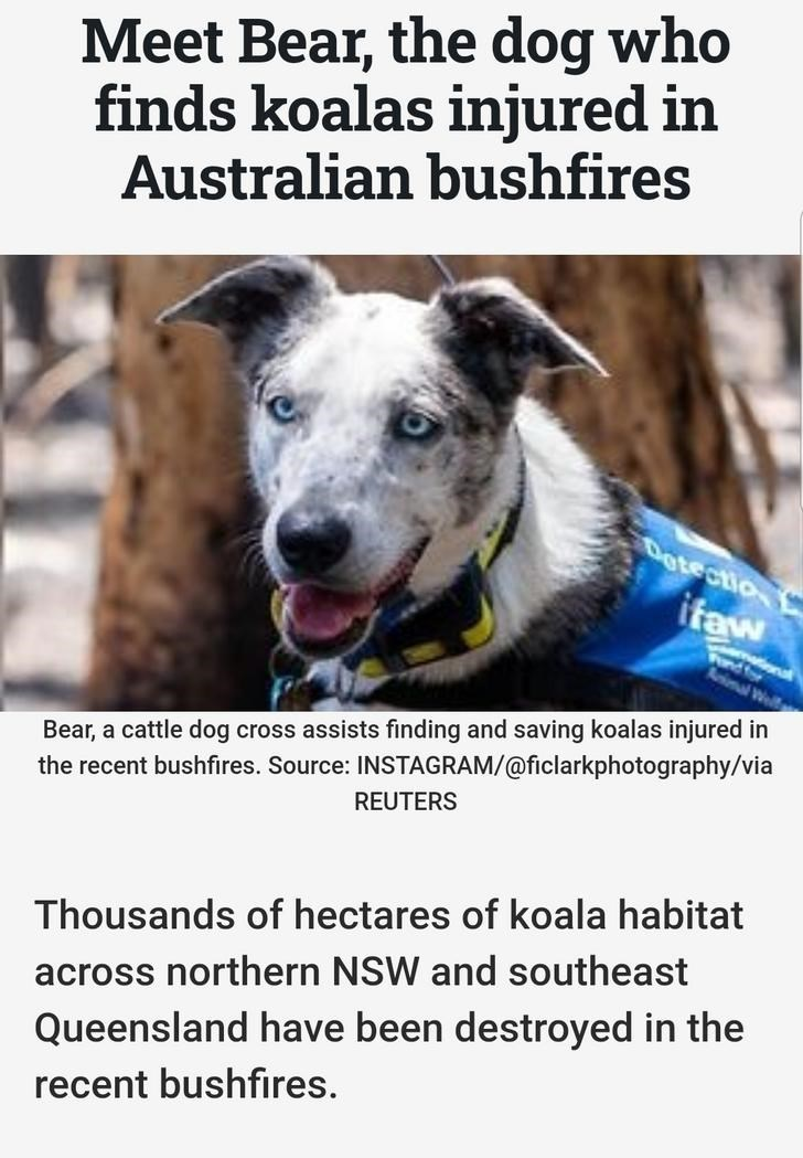 Meet Bear, the dog who finds koalas injured in Australian bushfires: Bear, a cattle dog cross assists finding and saving koalas inured in the recent bushfires. Thousands of hectares of koala habitat across northern NSW and southeast Queensland have been destroyed in the recent bushfires.