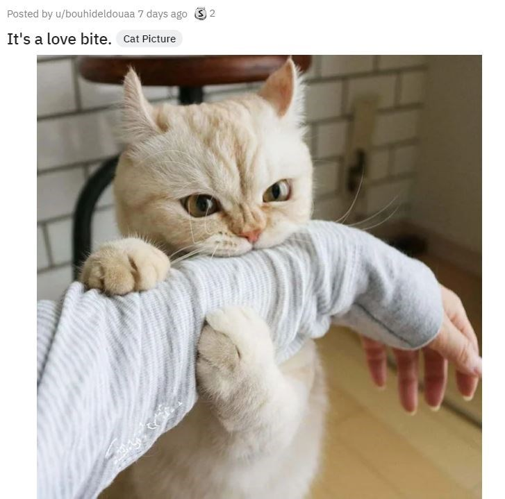Cat - Posted by u/bouhideldouaa 7 days ago 3 2 It's a love bite. Cat Picture