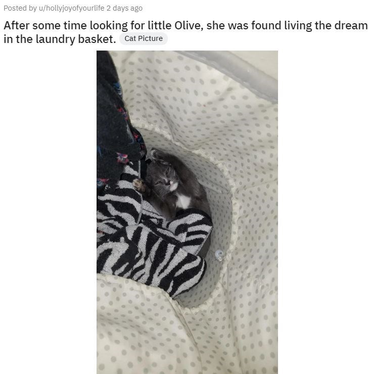 Photo caption - Posted by u/hollyjoyofyourlife 2 days ago After some time looking for little Olive, she was found living the dream in the laundry basket. Cat Picture