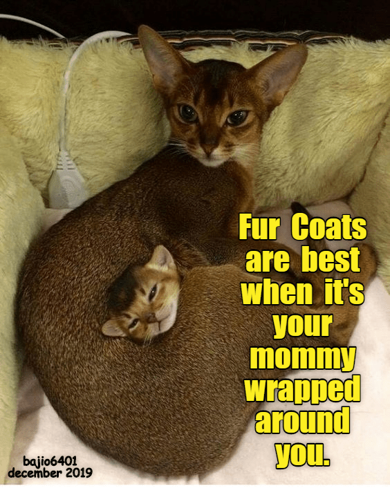 Cat - Fur Coats are best when it's your mommy wrapped around you. bajio6401 december 2019