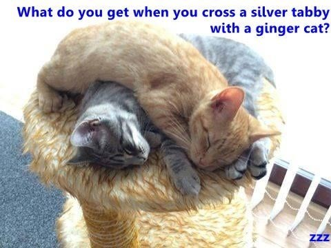Facial expression - What do you get when you cross a silver tabby with a ginger cat? zzz