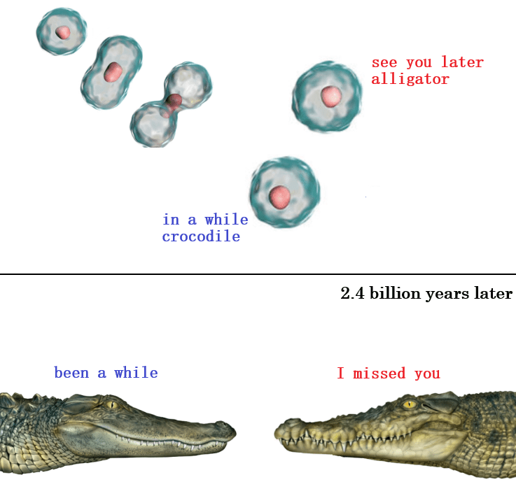 top pic showing a cell splitting in two. bottom pic shows an alligator and a crocodile facing each other. see you later alligator. in a while crocodile. 2.4 billion years later: been a while. i missed you.