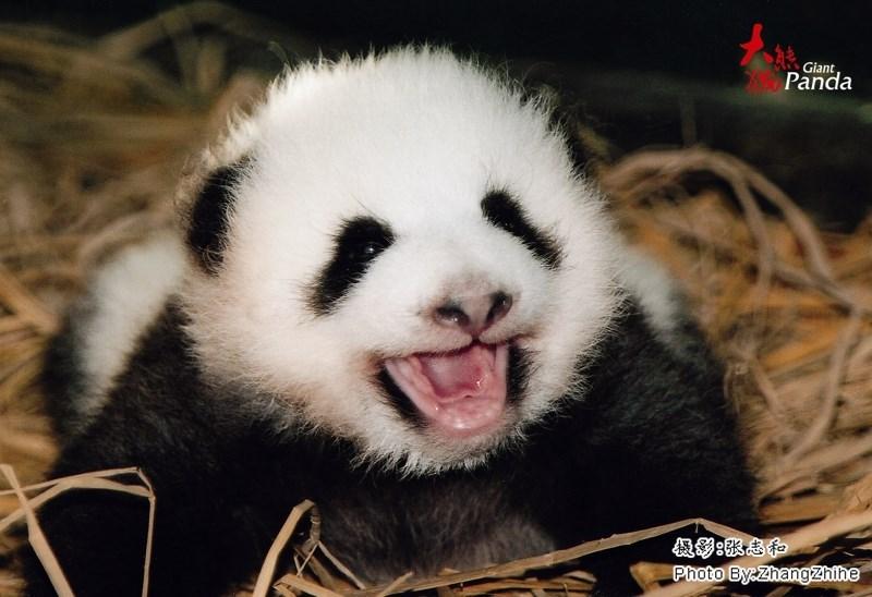 Panda - Giant Panda a9:Kaf Photo By:Zhangzhihe