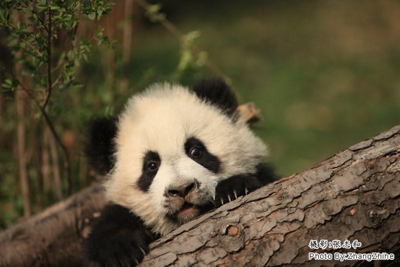 Panda - Photo By ZhangZhihe