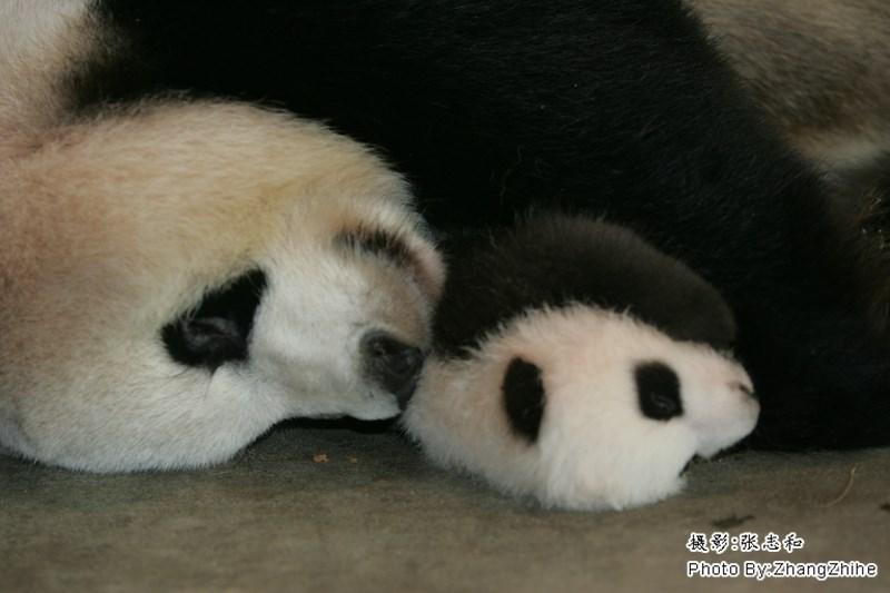 Panda - Photo By.ZhangZhihe