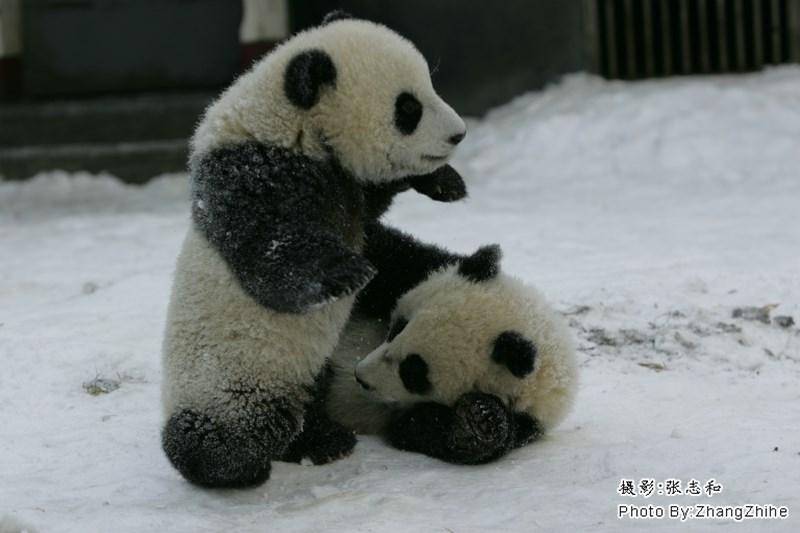 Panda - 摄影:张志和 Photo By: ZhangZhihe