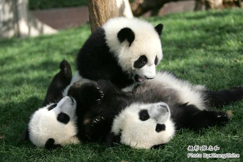 Panda - Photo ByZhangzhihe