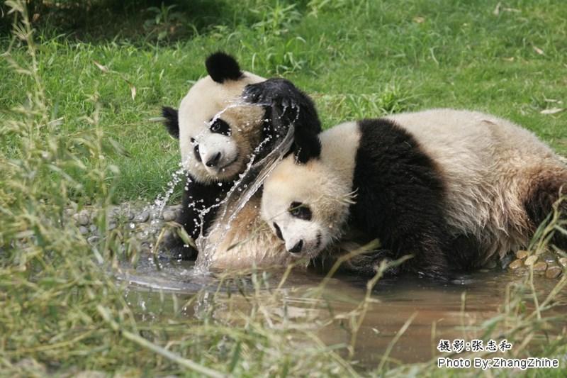 Panda - Photo By:ZhangZhihe