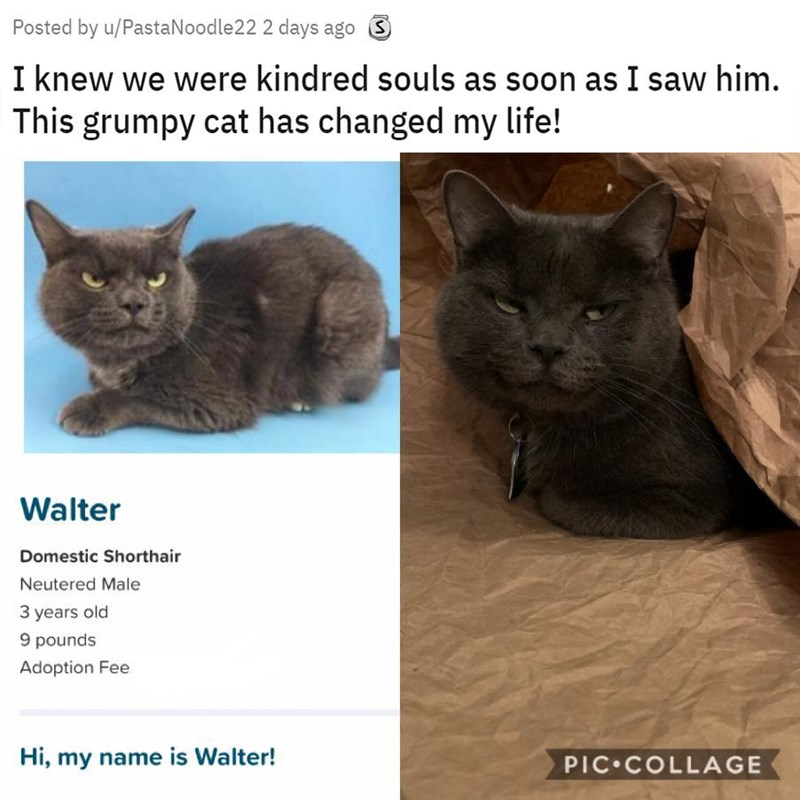 Cat - Posted by u/PastaNoodle22 2 days ago S I knew we were kindred souls as soon as I saw him. This grumpy cat has changed my life! Walter Domestic Shorthair Neutered Male 3 years old 9 pounds Adoption Fee Hi, my name is Walter! PIC COLLAGE