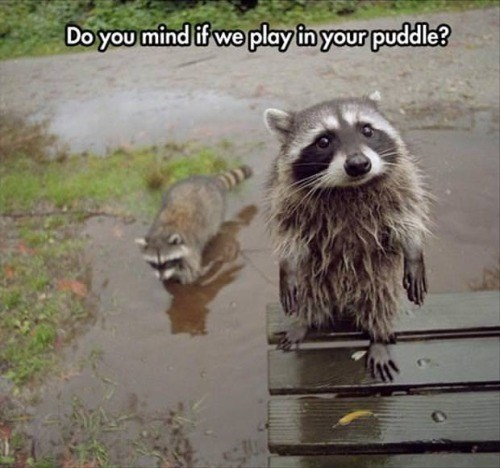 Procyon - Do you mind if we play in your puddle?