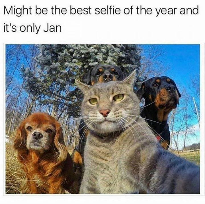 "photo of a grey cat in the front with two rottweilers and a cocker spaniel dog behind it, the cat reaches forward as if its operating the camera. ""might best the selfie of the year and it's only january"""