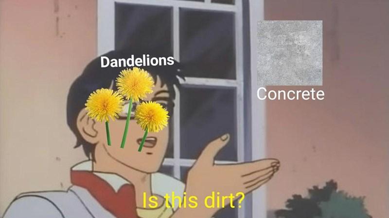 Yellow - Dandelions Concrete Ishis dirt?