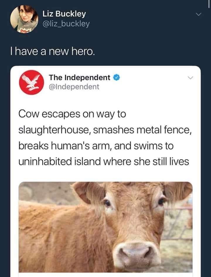 Bovine - Liz Buckley @liz_buckley Thave a new hero. The Independent @Independent Cow escapes on way to slaughterhouse, smashes metal fence, breaks human's arm, and swims to uninhabited island where she still lives