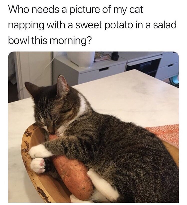 Cat - Who needs a picture of my cat napping with a sweet potato ina salad bowl this morning?