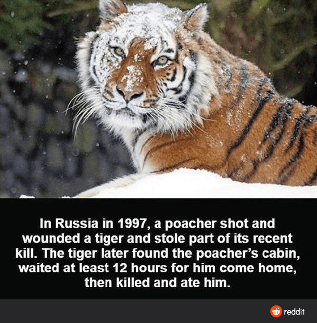 Tiger - In Russia in 1997, a poacher shot and wounded a tiger and stole part of its recent kill. The tiger later found the poacher's cabin, waited at least 12 hours for him come home, then killed and ate him. reddit