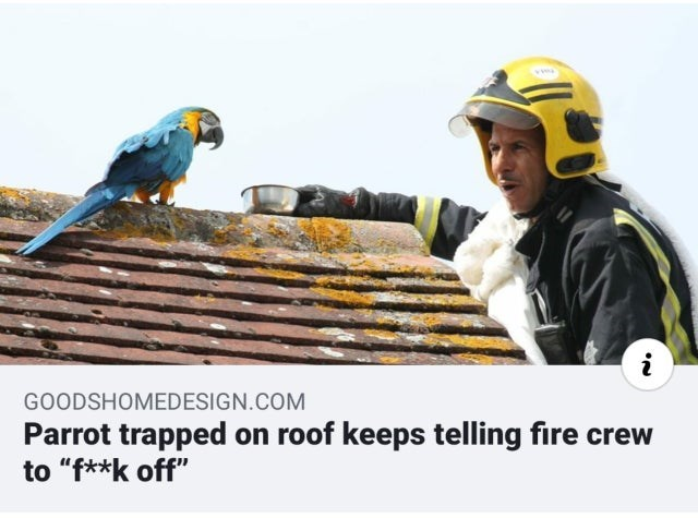 """Bird - GOODSHOMEDESIGN.COM Parrot trapped on roof keeps telling fire crew to """"f**k off"""""""