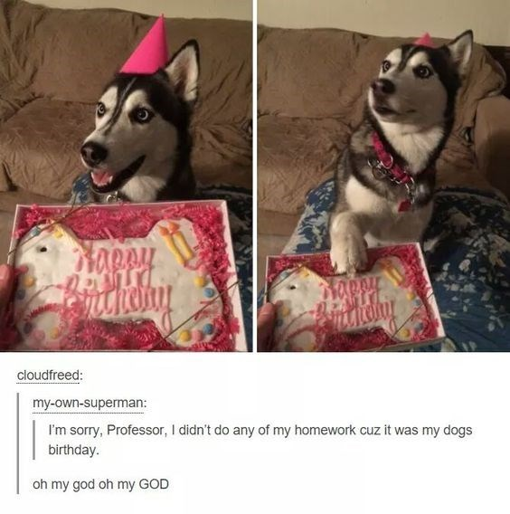 Siberian husky - cloudfreed: my-own-superman: I'm sorry, Professor, I didn't do any of my homework cuz it was my dogs birthday. oh my god oh my GOD