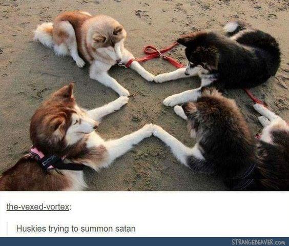 Dog - the-vexed-vortex: Huskies trying to summon satan STRANGEBEAVER.com