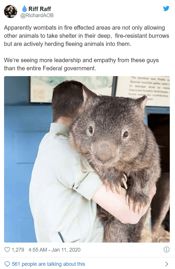 world's largest wombat held by a person: apparently wombats in fire effected areas are not only allowing other animals to take shelter in their deep, fire resistant burrows but are actively herding fleeing animals into them. we're seeing more leadership and empathy from these guys than the entire federal government