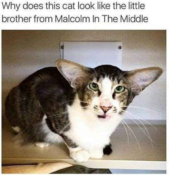 Cat - Why does this cat look like the little brother from Malcolm In The Middle