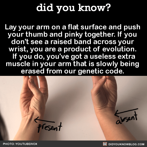 Text - did you know? Lay your arm on a flat surface and push your thumb and pinky together. If you don't see a raised band across your wrist, you are a product of evolution. If you do, you've got a useless extra muscle in your arm that is slowly being erased from our genetic code. absent present PHOTO: YOUTUBENOX O DIDYOUKNOWBLOG.COM