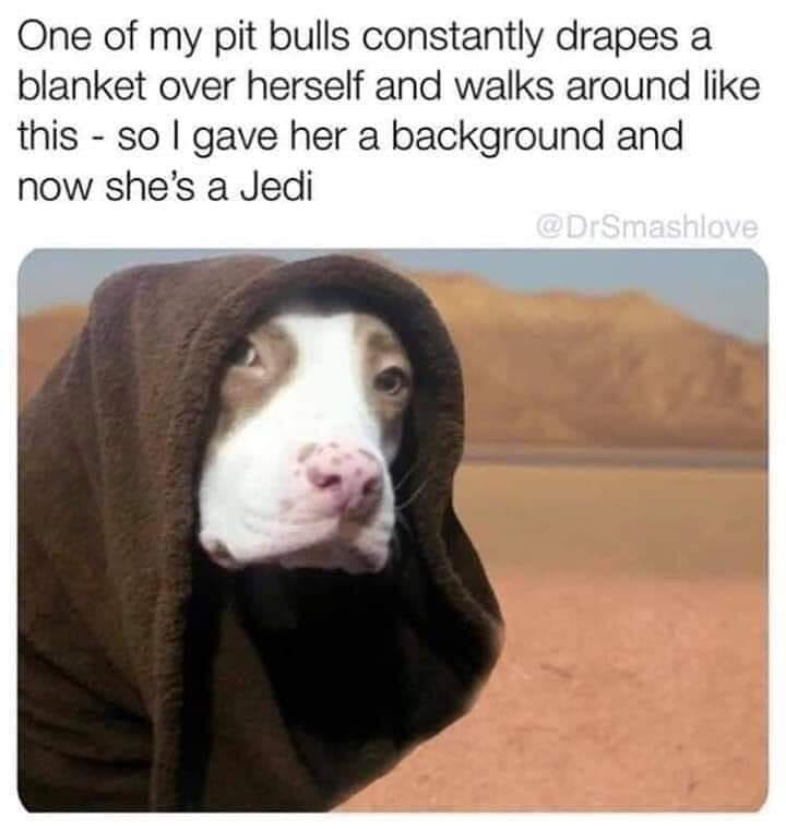 Vertebrate - One of my pit bulls constantly drapes a blanket over herself and walks around like this - so I gave her a background and now she's a Jedi @DrSmashlove
