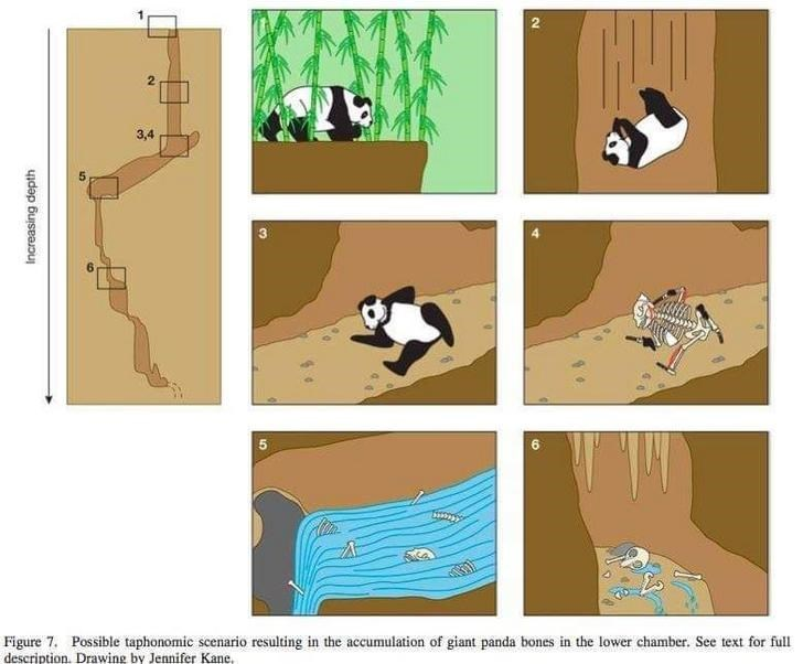 Cartoon - 3,4 Figure 7. Possible taphonomic scenario resulting in the accumulation of giant panda bones in the lower chamber. See text for full description. Drawing by Jennifer Kane, Increasing depth 2.