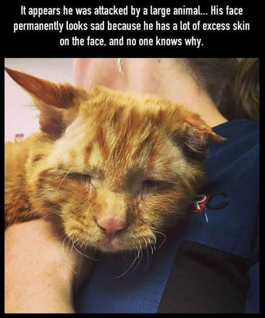 Cat - It appears he was attacked by a large animal.. His face permanently looks sad because he has a lot of excess skin on the face, and no one knows why. PC