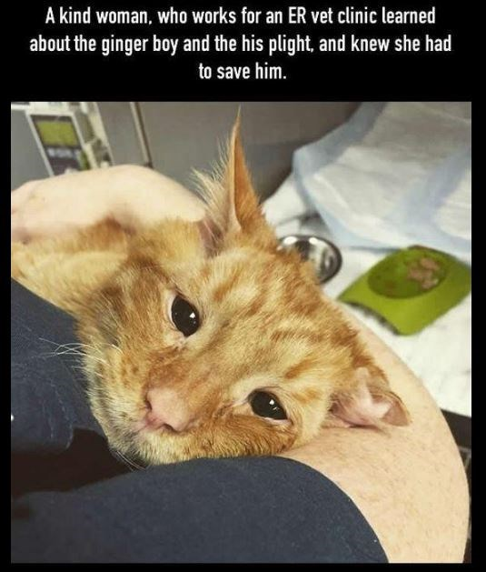 Cat - A kind woman, who works for an ER vet clinic learned about the ginger boy and the his plight, and knew she had to save him.