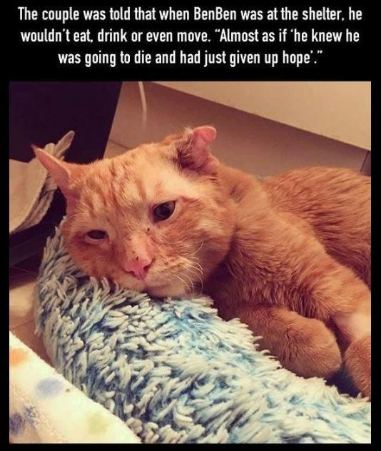 "Cat - The couple was told that when BenBen was at the shelter, he wuldn't eat, drink or even move. ""Almost as if 'he knew he was going to die and had just given up hope'."""