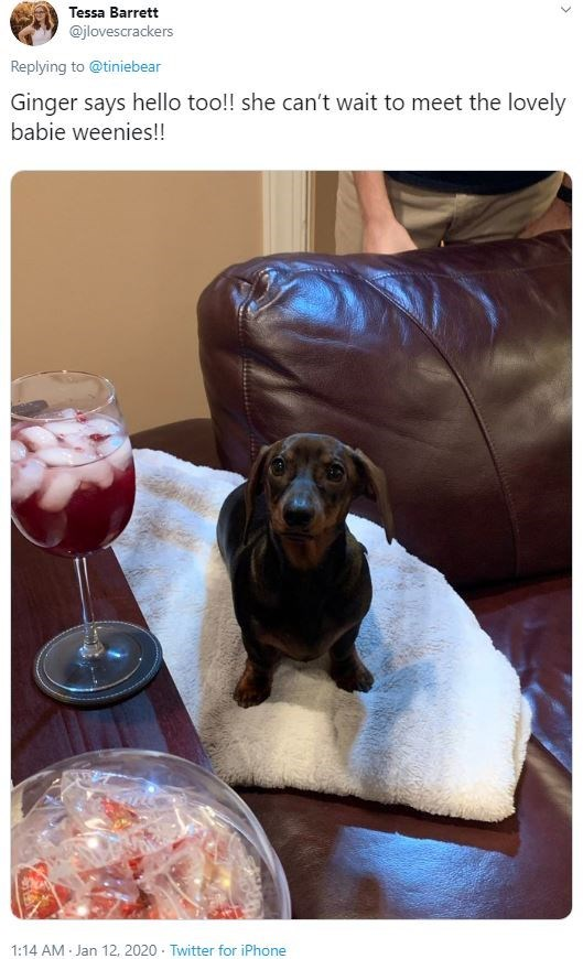 Dog - Tessa Barrett @jlovescrackers Replying to @tiniebear Ginger says hello too!! she can't wait to meet the lovely babie weenies!! 1:14 AM Jan 12, 2020 · Twitter for iPhone