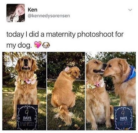 Dog - Ken @kennedysorensen today I did a maternity photoshoot for my dog. DAYS SUNTILE DAYS FUFPES PUPPIES