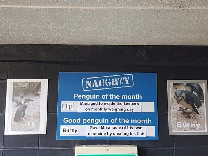 Signage - NAUGHTY Penguin of the month Managed to evade the keepers on monthly weighing day Flip Good penguin of the month Gave Mo a taste of his own medicine by stealing his fish Flip Burny Burny