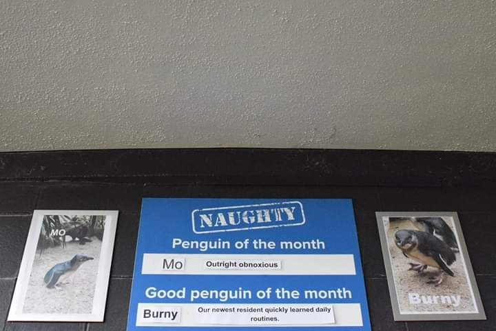 Signage - NAUGHTY мо Penguin of the month Mo Outright obnoxious Good penguin of the month Burny Our newest resident quickly learned daily Burny routines.