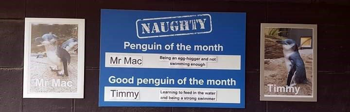 Text - NAUGHTY Penguin of the month Being an egg-hogger and not swimming enough Mr Mac Good penguin of the month Mh Mac Timmy Timmy Learning to feed in the water and being a strong swimmer