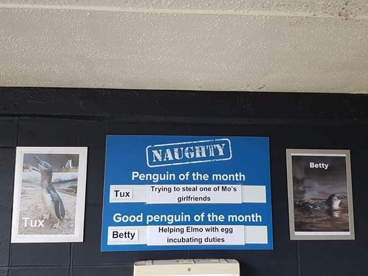 Font - NAUGHTY Betty Penguin of the month Trying to steal one of Mo's girlfriends Tux Good penguin of the month Helping Elmo with egg Tux Betty incubating duties