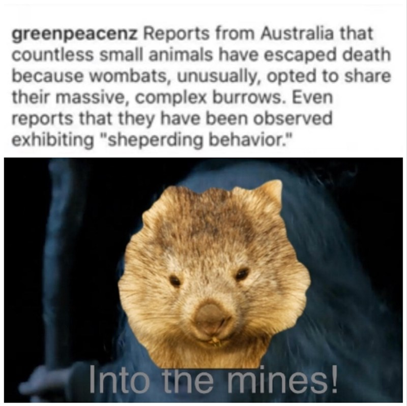 "Text - greenpeacenz Reports from Australia that countless small animals have escaped death because wombats, unusually, opted to share their massive, complex burrows. Even reports that they have been observed exhibiting ""sheperding behavior."" Into the mines!"