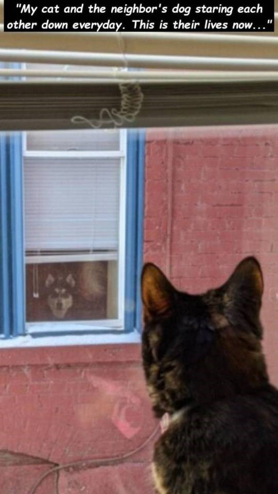 the back of the head of a cat staring out the window at a dog in the next building. my cat and the neighbor's dog staring each other down everyday. this is their lives now